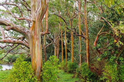 Esucalipto arcoiris