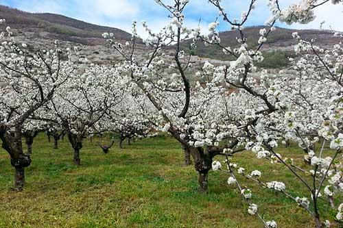 Cerexos en flor en el valle del Jerte