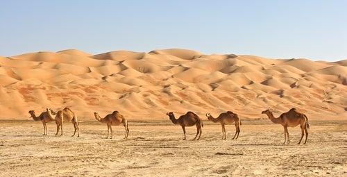 Camellos en el Desierto de Arabia.