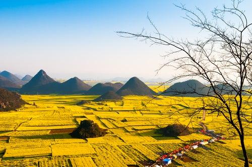 Campos de flores amarillas en Luoping