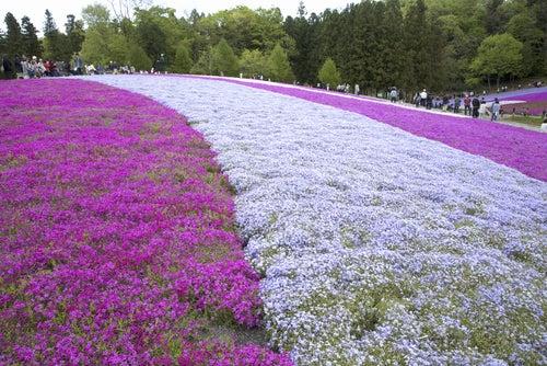 Campos de flores en Hitsujiyama