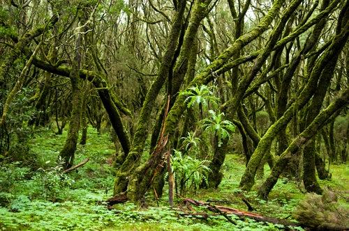 Bosque de laurisilva en Canarias
