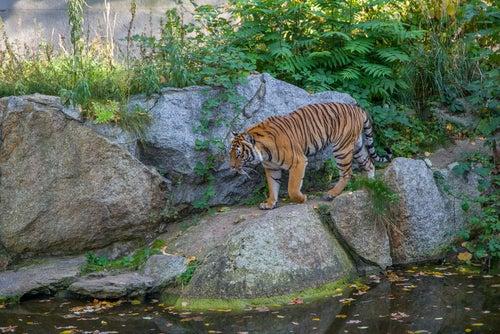 Tigre de bengala en Corbett