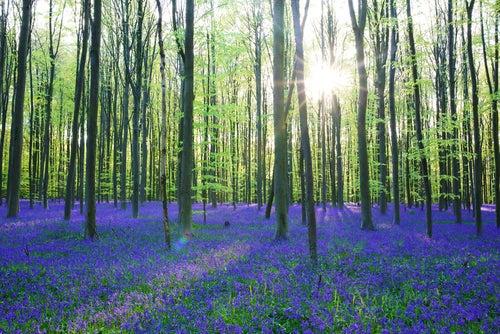 Hallerbos, un bosque azul