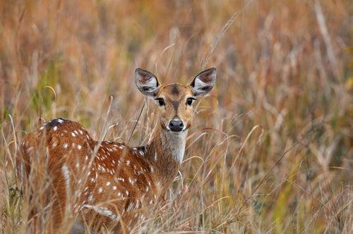 Ciervo en el Parque Corbet