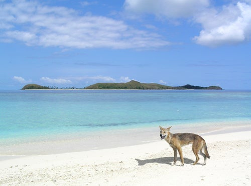 Perro dingo en Frase Island