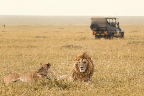Leones en África