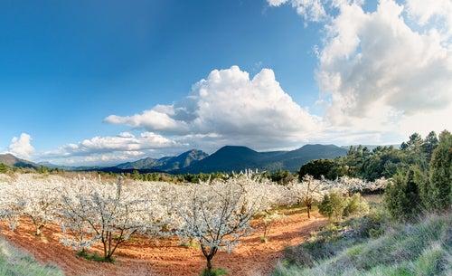 Cerezos en la ruta del valle del Jerte
