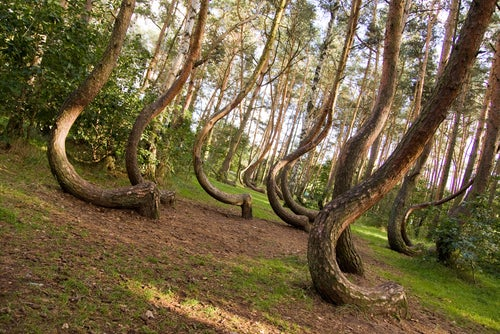 Árboles torcidos en Crooked Forest