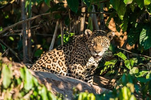 Jaguar en el Amazonas