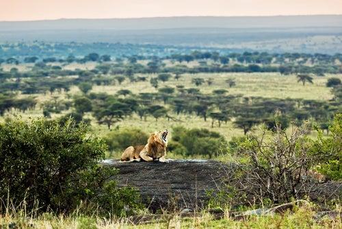 León en el Serengueti