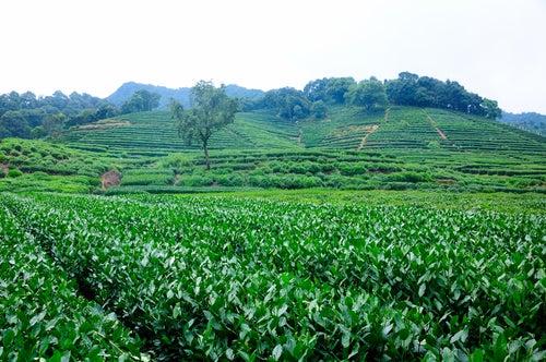 Plantaciones de té en Meijiawu