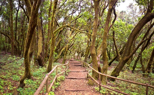 Bosque de laurisilva en Garajonay