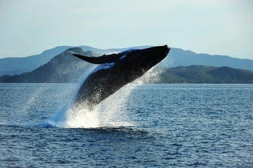 Ballena en Islas Whitesunday