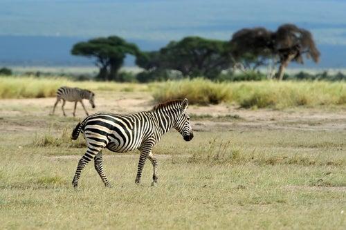 Cebras en el PArque Nacional deNairobi