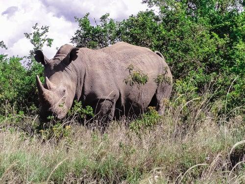 Rinoceronte en el Parque Nacional de Nairobi