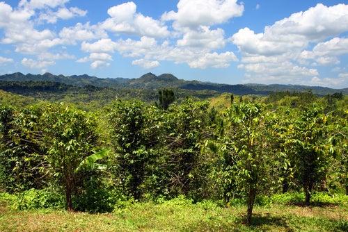 Plantación de café en Jamaica