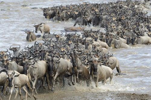 Gran migración en Masai Mara