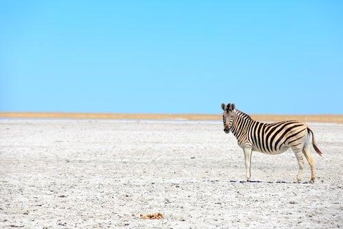 Cebra enParque Nacional Makgadikgadi Pans