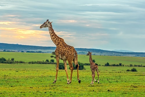 Jirafas en Masai Mara