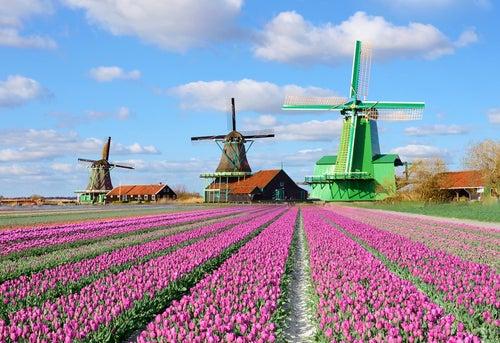 Campo de tulipanes en Holanda