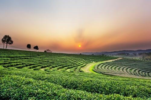 Plantación de té en Chiang Rai