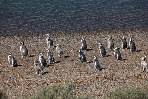 Pingüinos en PuntaTombo