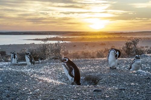 Pingüinos de Magallanes