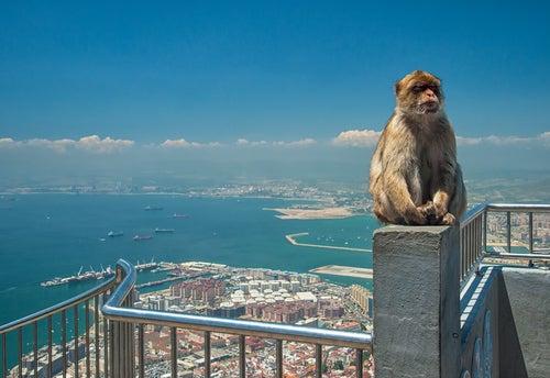 Mono en Gibraltar