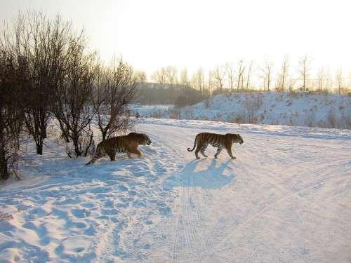 Harbin Tiger Park