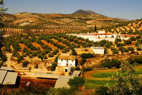 Campos de olivos en Málaga