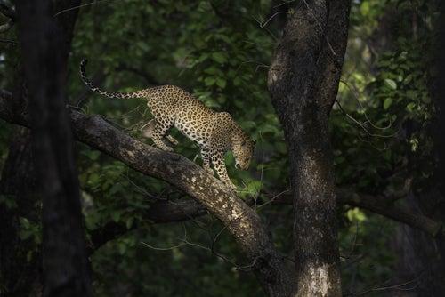 Parque Nacional Kanha en India