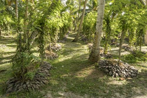 Plantación de vainilla en Zanzíbar