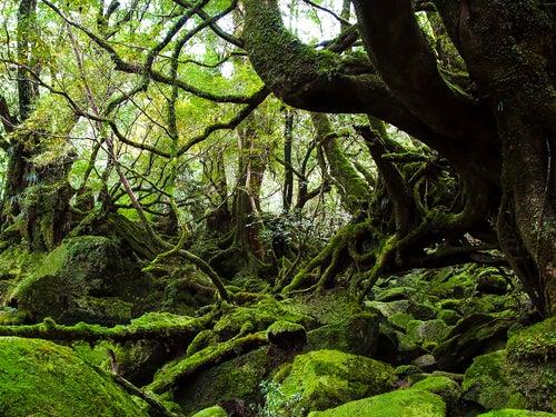 Recorremos el bosque encantado de Yakushima