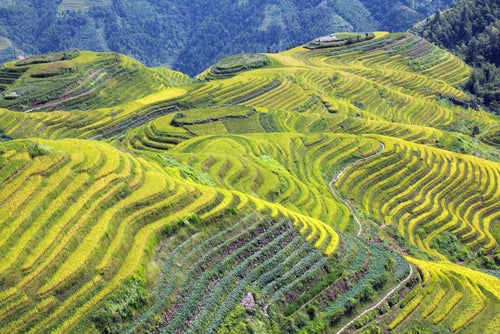 Campos de arroz en Longshen en China