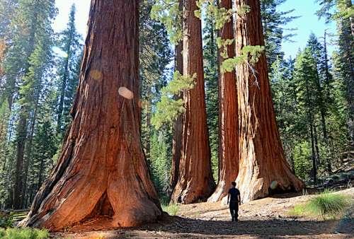 Mariposa Grove y sus secuoyas gigantes