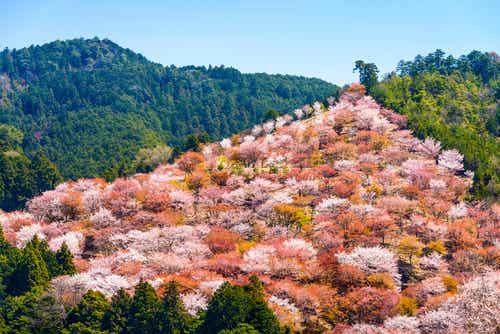 Yoshinoyama en Japón y el espectáculo de los cerezos en flor