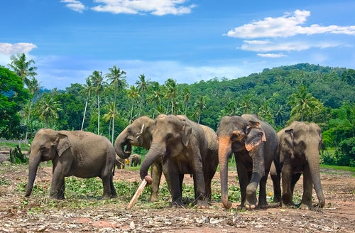 Orfanato de elefantes en Pinnawala,Sri Lanka