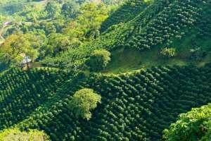 Plantación de café en Colombia