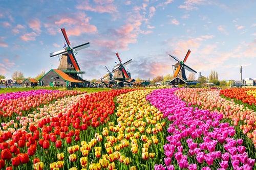La ruta de las flores en Holanda, colorida y hermosa