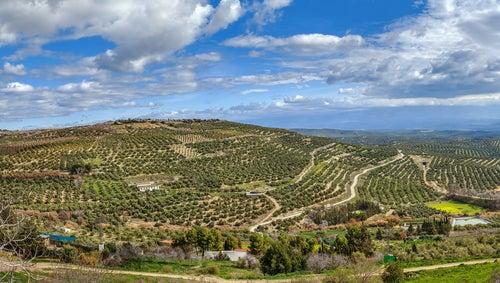 Olivares en la provincia de Jaén