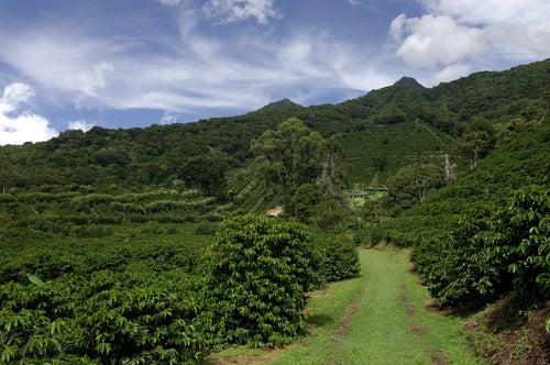 Plantación de café en Panamá