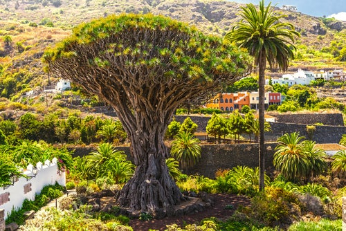 Drago milenario en el Norte de Tenerife