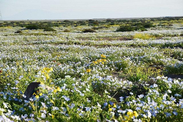 Flores en el desierto de Atacama