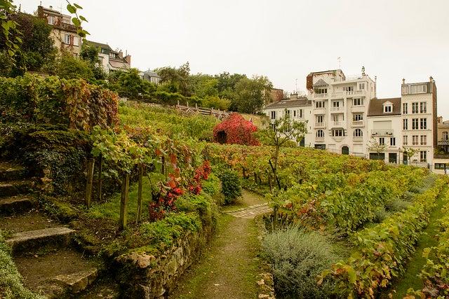Viñedo en Montmartre, uno de los rincones secretos de París