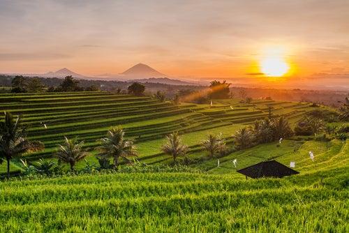 Terraza de arroz en la isla de Bali
