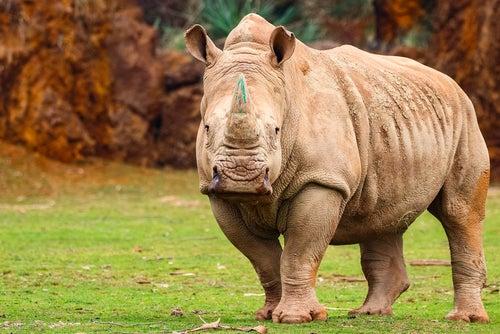 Rinoceronte en Cabárceno