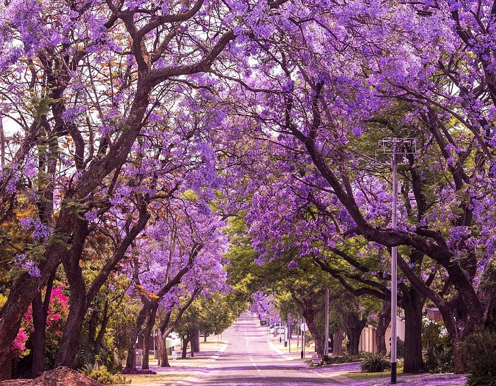 PRetoria, lugar donde hay bellos túneles de árboles