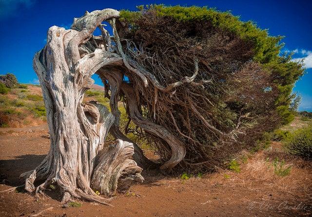 Árbol tumbado en El Hierro