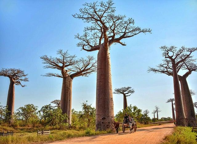 Avenida de los Baobabs en la isla de Madagascar